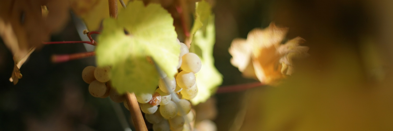 vendanges tardives grappe